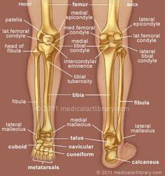 Sit with the roll in front of you under your calf with your ankles crossed. human leg and foot skeleton image   ... Lateral Meniscus Foot Anatomy Foot Muscles Foot Muscles ...