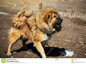 Tibetan Mastiff Royalty Free Stock Photos - Image: 4310218