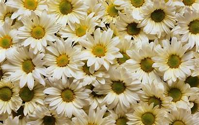 Daisy Backgrounds Background Wallpapers