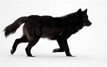 Wolf Archipelago Wolves Alexander Alaska Timber Gray