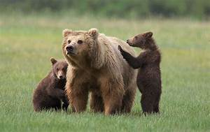 Drive To Nature: Grizzly Bear  Grizzly
