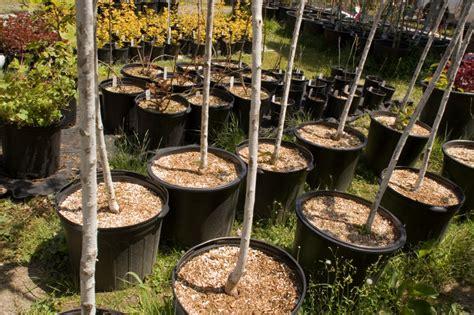 kirschb 228 ume im topf pflanzen 187 das sollten sie beachten