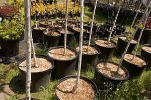 Baum Im Topf : kirschb ume im topf pflanzen das sollten sie beachten ~ Michelbontemps.com Haus und Dekorationen