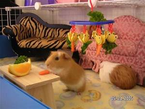 Table Manners Guinea Pig Cage Photos