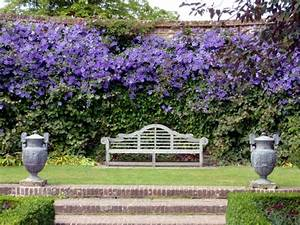 Clematis in the garden – planting, maintenance and