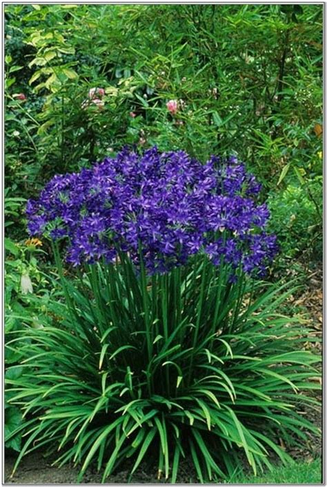 25 best ideas about purple perennials on