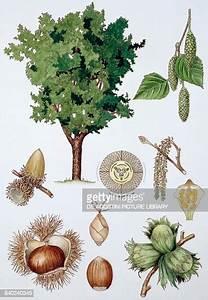 Examples Of Achene   Chestnut  Hazelnut  Acorn  Drawing