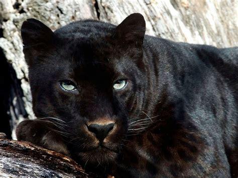 Isuzu Panther Hd Picture by Panther Wallpaper Wallpapersafari