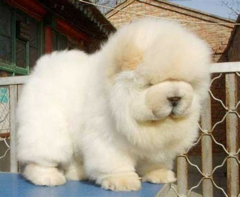 17 Best Ideas About Chow Chow On Pinterest Chow Chow