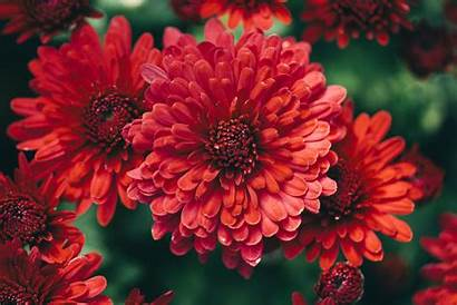 Flowers Fall Flower Autumn Wallpapers Plants Weather