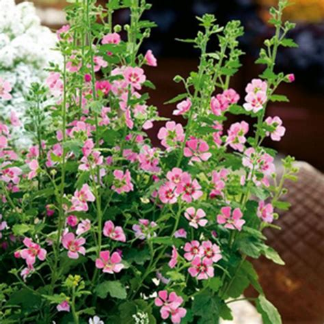 cape mallow anisodontea lady in pink plants anisodontea capensis 3 for 163 5 99 brookside nursery