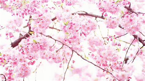 pink tree wallpaper    images