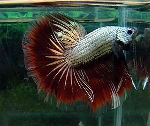 Dragon betta fish   Betta fish care