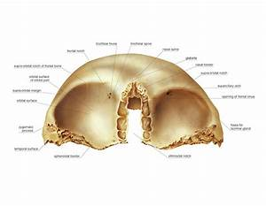 Gallery  Frontal Bone