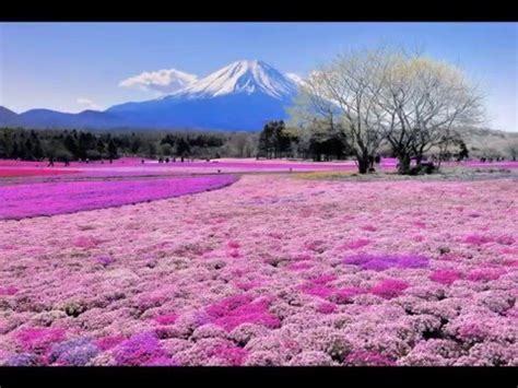 Breathtaking Beauty Shibazakura Flower Festival Near