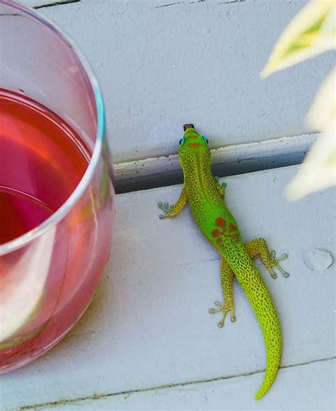 Kona Hawaii Gecko