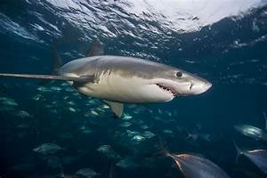 Why Great White Sharks Haunt The Depths Of Deep