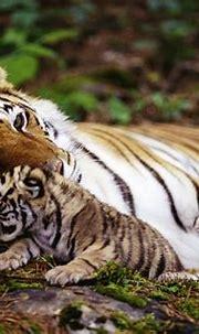 Tiger 4k Ultra HD Wallpaper   Background Image   3964x2664