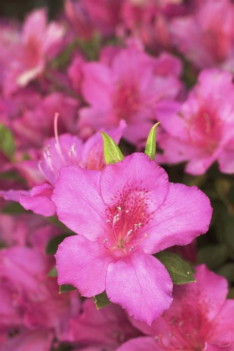names colors  azaleas hunker