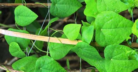 merawat tanaman  aneka tanaman hias budidaya