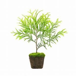 Ahorn Vermehren Steckling : zypresse vermehren so gelingt 39 s ber stecklinge oder samen ~ Lizthompson.info Haus und Dekorationen