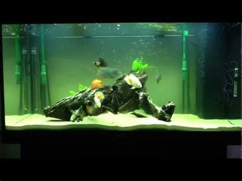 aquarium set  south american cichlids youtube