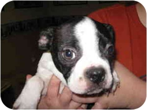 corkie adopted puppy fort wayne  boston terrier mix
