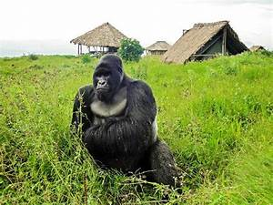 Gorillas vs oil: DR Congo seeking way to explore at ...