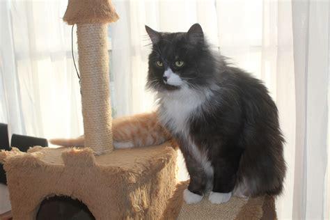 Cat Breeders by Siberians Siberian Cat Breeder Bowral Nsw