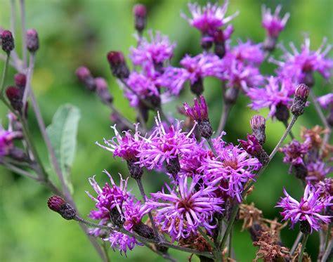 buckeye botanist prairie ironweed vernonia fasciculata