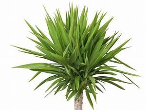 Yucca Palme Winterhart : yucca palme hat sonnenbrand vorbeugen und behandeln palmlilie ~ Frokenaadalensverden.com Haus und Dekorationen