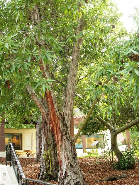 catalina ironwood lyonothamnus floribundus ssp floribundu