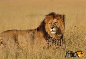 big cat diary on a photo safari with big cat diary s warren samuels
