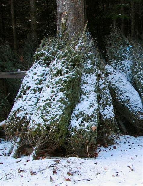 berst christmas tree preservative petit debutant diy tree preservative
