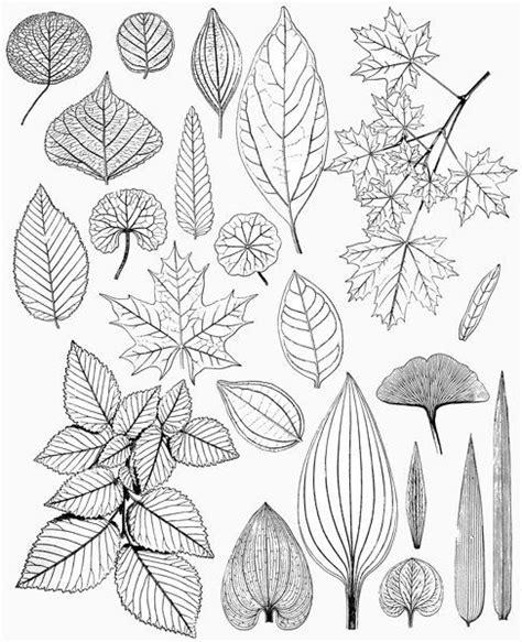 leaves leaf drawings victorian nature illustrations