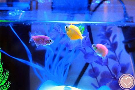 glofish aquarium review      buy