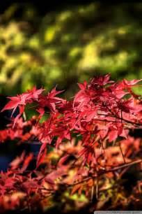 maple leaves autumn japan  hd desktop wallpaper