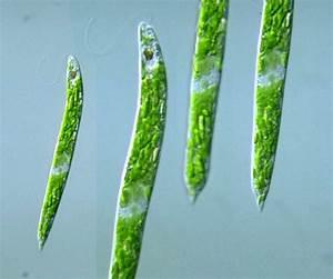 Protist Images  Euglena Deses