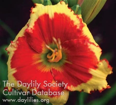 morning colors ahs daylily cultivar detailed information