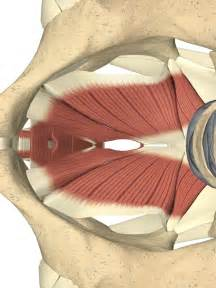 pelvic floor at last the pelvic floor article the vertical
