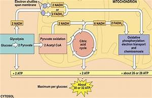 Which Metabolic Pathway Is Common To Both Cellular