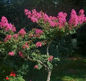 Taille Du Lilas Des Indes : lilas des indes plantation taille et conseils d 39 entretien ~ Nature-et-papiers.com Idées de Décoration