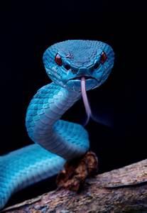 Black  U0026 Blue  U2014 Blue Pit Viper  By David Cyt
