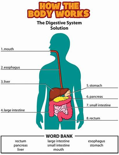 Digestive System Human Activity Diagram Answers Solution