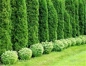 Thuja Hecke Düngen : thuja hecke pflanzen abstand pflege und schneiden ~ Lizthompson.info Haus und Dekorationen