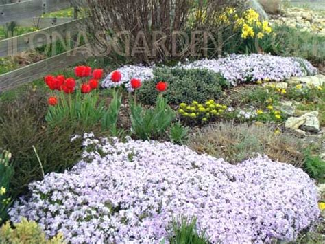 low growing plants low growing perennial flowers bing images