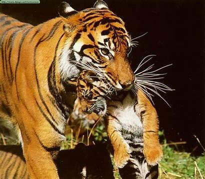 Tigre Tigres Petits 1958 Imagens Tiger Homme
