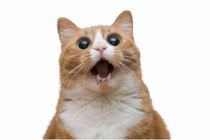 Cat Surprised Cats Face Funny Faces Google