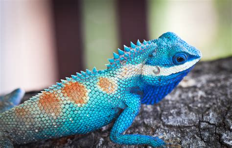 If you're looking for the best bearded dragon wallpaper then wallpapertag is the place to be. Wallpaper Lacerta viridis, Blue iguana, tree, nature, reptiles, animal, lizard, Animals #1345