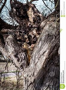 Rotting Bowl Of A Large Tree Stock Photo - Image of ...